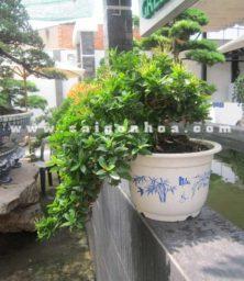 Chau Cay Trang Cam Bonsai