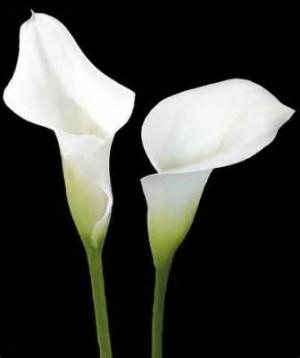 calla-lily-300x358