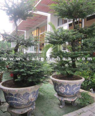 Cap Cay Can Thang Bonsai Trang Tri San Vuon