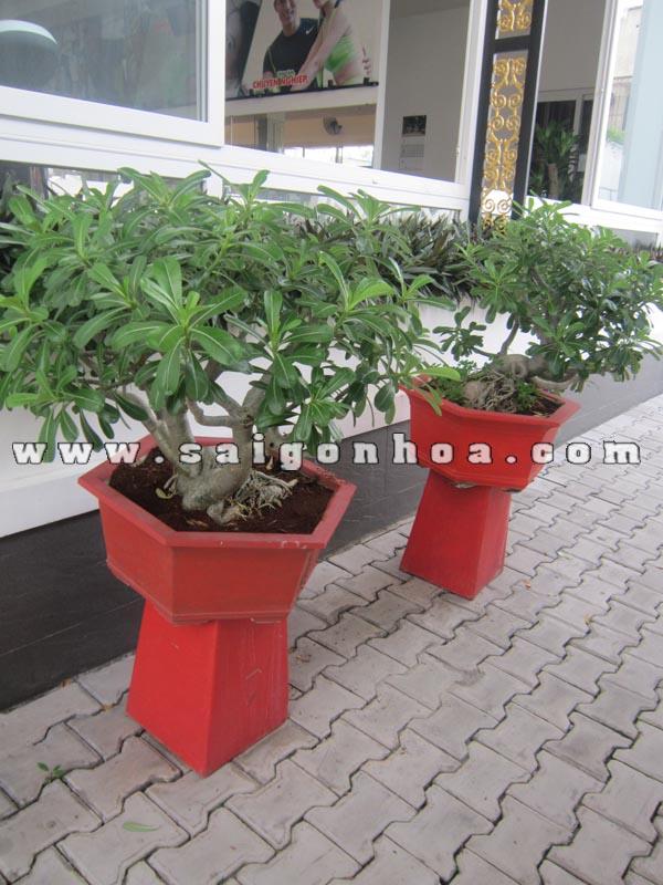 cap cay su thai bonsai 1
