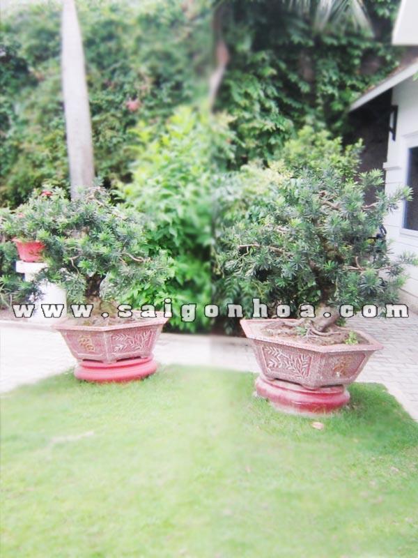 cap cay van nien tung bonsai cao 1 m