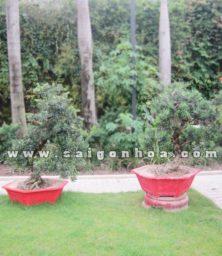 Cap Cay Van Nien Tung Bonsai Cao 1.1 1.2 M