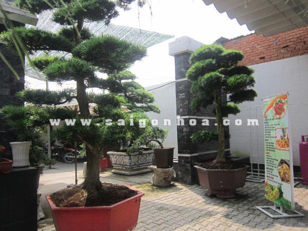 cap cay van nien tung bonsai cao 2.8 - 3 m trang tri