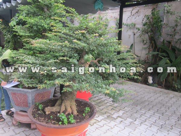cay can thang bonsai cao 1 m