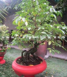 Cay Khe Bonsai Cao 1.2 M Trang Tri