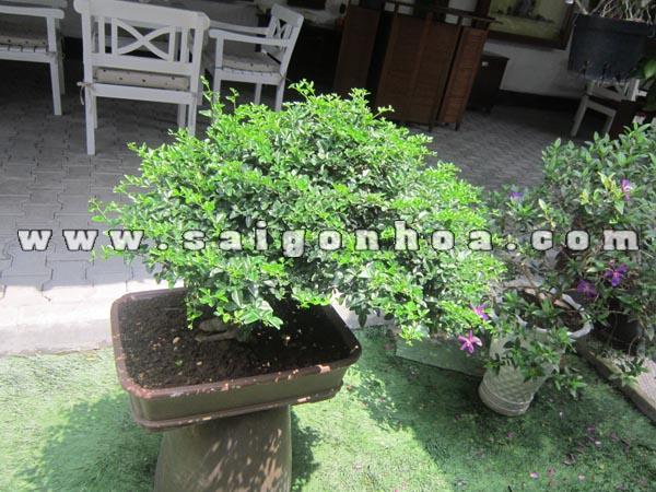 cay kim quyt bonsai cao 50 cm trang tri quan cafe