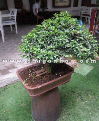 Cay Kim Quyt Bonsai Trang Tri Quan Cafe
