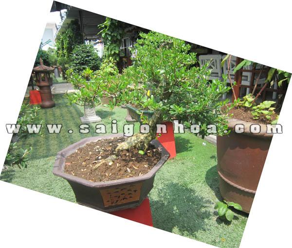 cay linh sam bonsai cao 40 cm trang tri