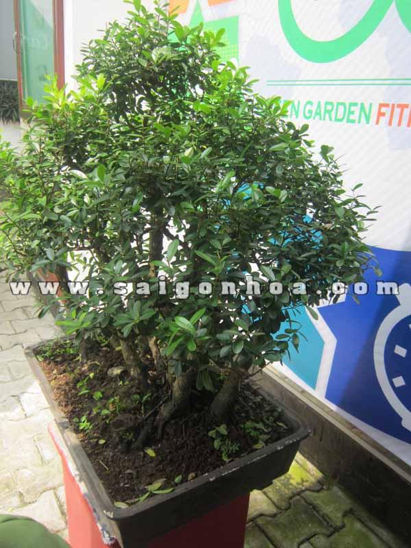 Cay Linh Sam Bonsai Cao 75 - 80 Cm