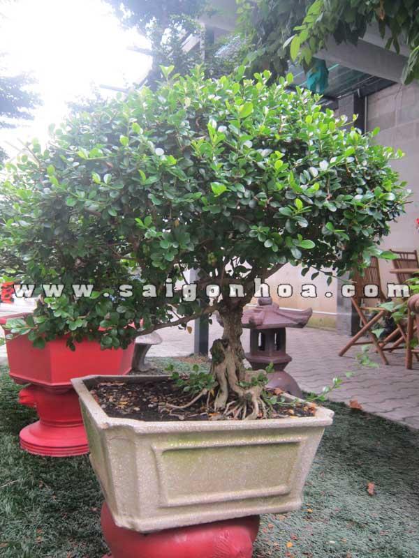 Cay Sam Nui Trai Bonsai Cao 60 Cm