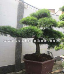 Cay Van Nien Tung Bonsai Cao 2.7 2.8 M