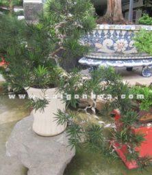 Cay Van Nien Tung Bonsai Dang Bay Trang Tri Quan Cafe