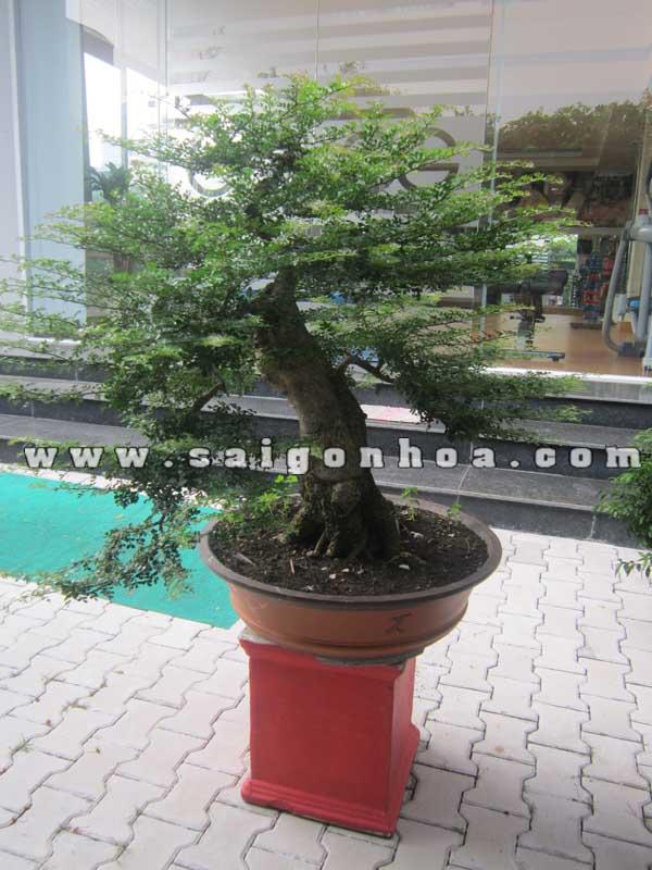chau cay can thang bonsai cao 1 m trang tri san vuon