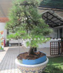 Chau Cay Duong Bonsai Trang Tri