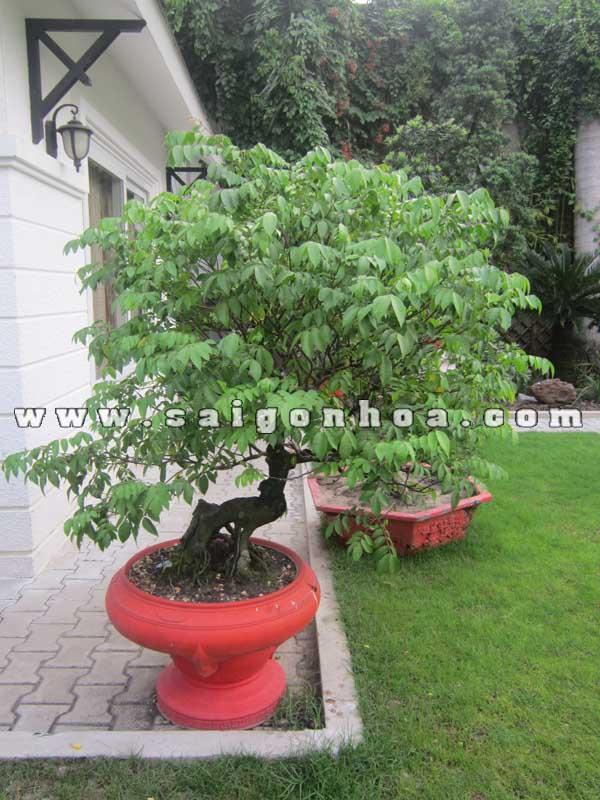 chau cay khe bonsai cao 1.1 - 1.2 m trang tri san vuon