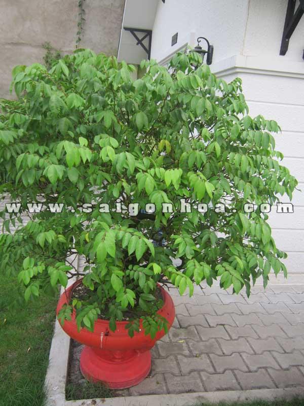 chau cay khe bonsai cao 1.1 - 1.2 m