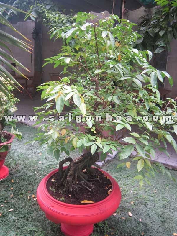 chau cay khe bonsai cao 1.2 m