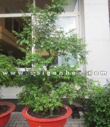 Chau Cay Khe Bonsai Cao 2.5 M Trang Tri San Vuon
