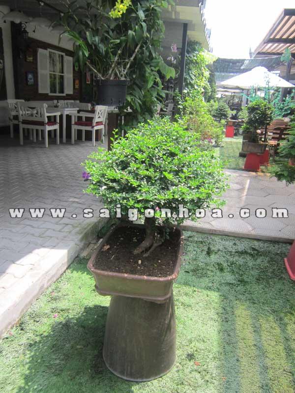 chau cay kim quyt bonsai cao 50 cm trang tri san vuon