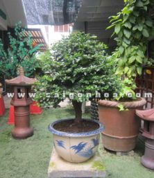 Chau Cay Kim Quyt Bonsai Cao 55 60 Cm Trang Tri Quan Cafe