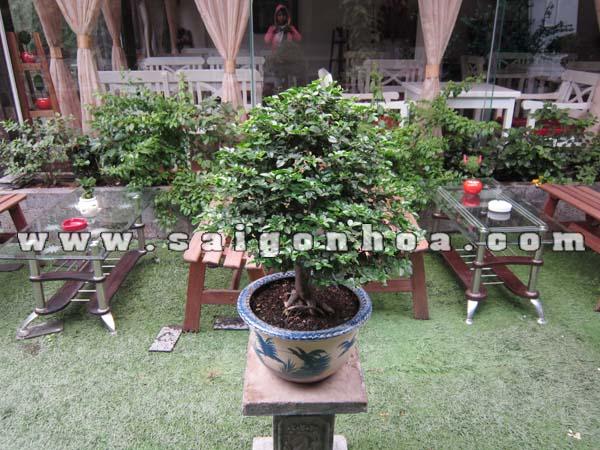 chau cay kim quyt bonsai cao 55 - 60 cm trang tri
