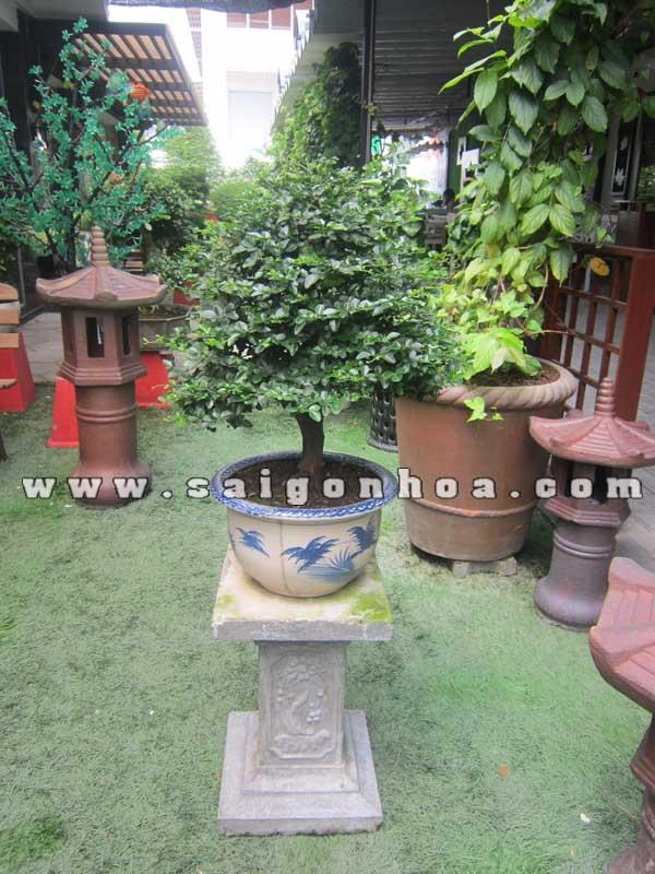 chau cay kim quyt bonsai cao 55 - 60 cm