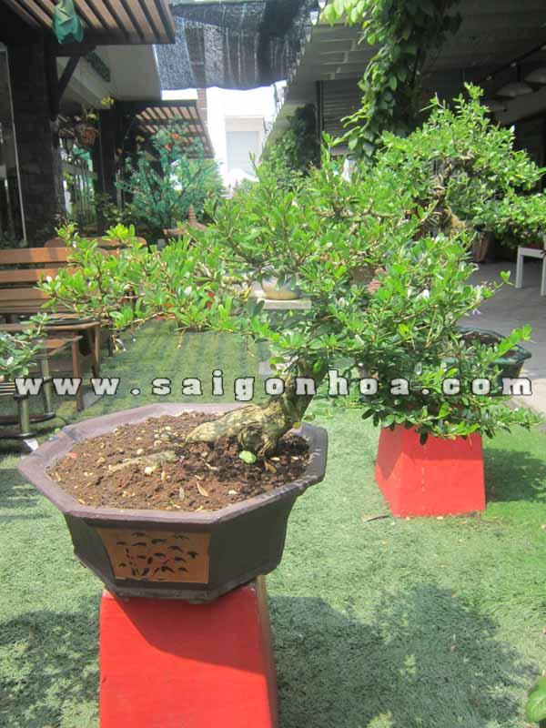 chau cay linh sam bonsai cao 40 cm