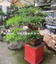 Chau Cay Linh Sam Bonsai Cao 70 Cm Trang Tri