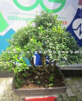 Chau Cay Linh Sam Bonsai Cao 75 80 Cm