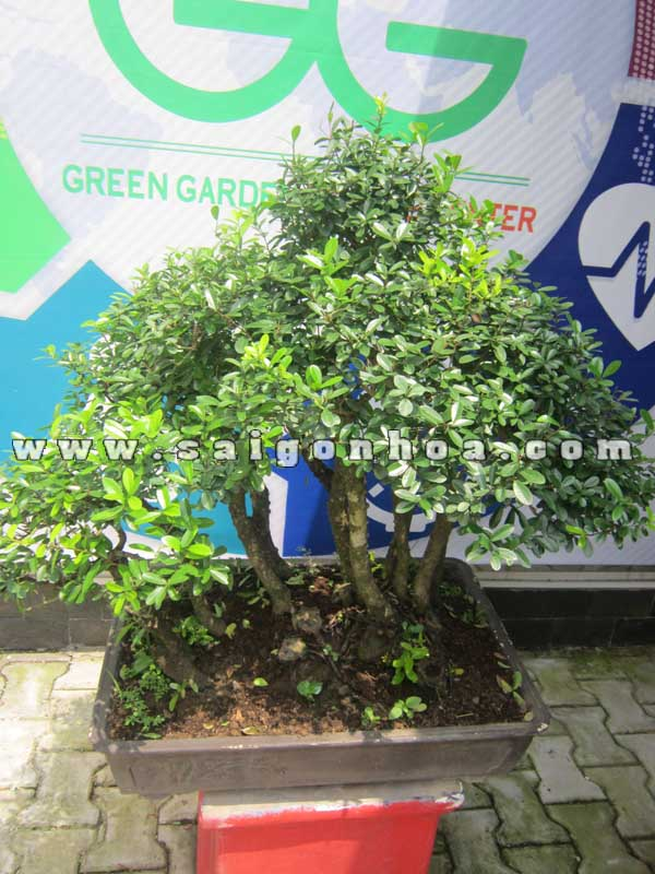 Chau Cay Linh Sam Bonsai Cao 75 - 80 Cm