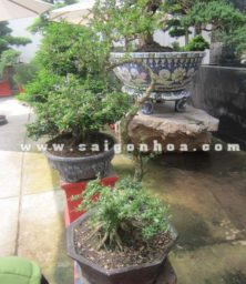 Chau Cay Linh Sam Bonsai The Long Ma Hoi Dau