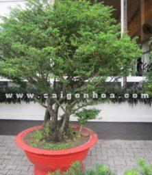 Chau Cay Mai Chieu Thuy Bonsai Cao 2.5 M