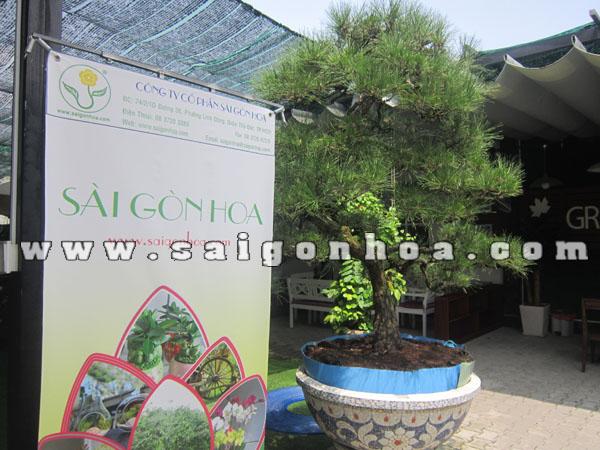 chau cay phi lao bonsai cao 2.2 - 2.3 m trang tri