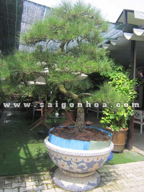 chau cay phi lao bonsai cao 2.2 - 2.3 m
