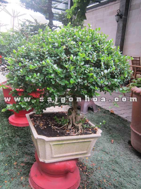chau cay sam nui trai bonsai cao 60 cm