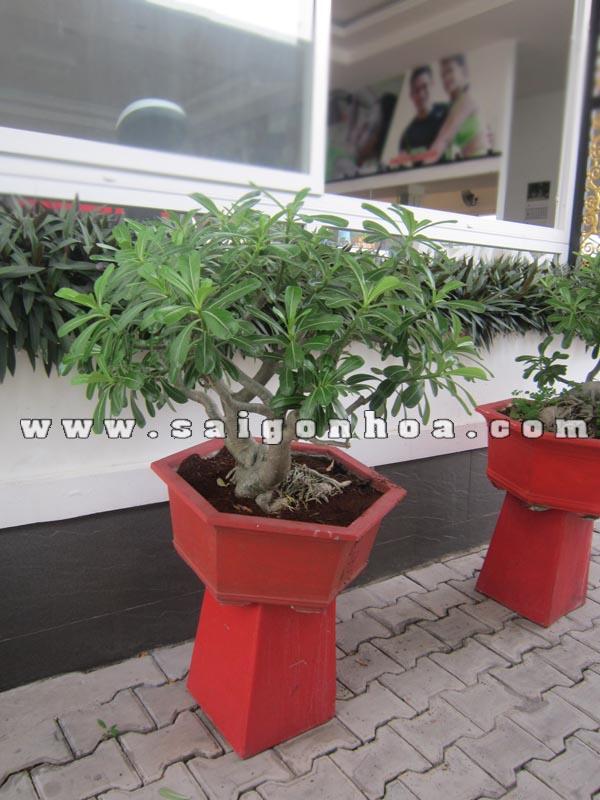 chau cay su thai bonsai