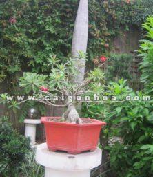Chau Cay Su Thai Hong Bonsai Cao 60 Cm Trang Tri