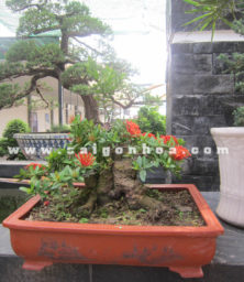 Chau Cay Trang Do Bonsai