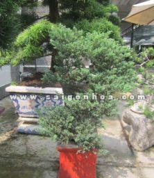 Chau Cay Tung La Kim Bonsai Dang Bay