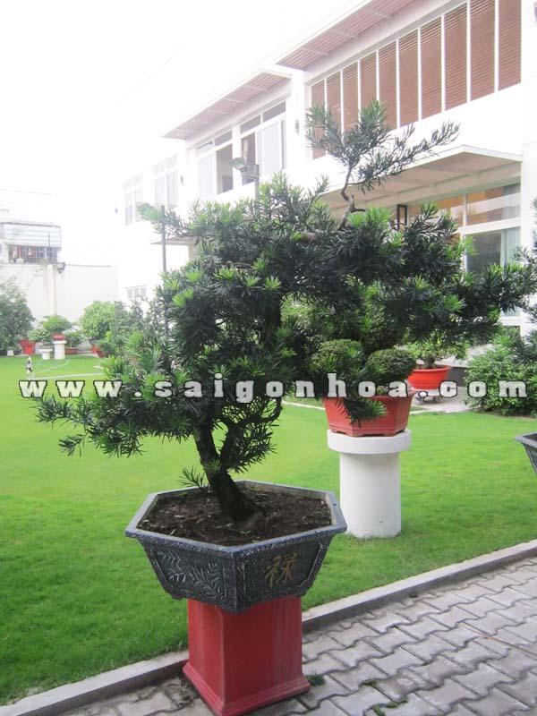 chau cay van nien tung bonsai cao 1.5 - 1.6 m