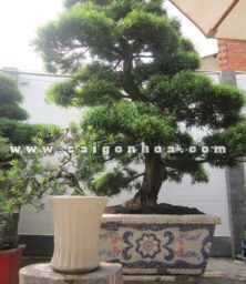 Chau Cay Van Nien Tung Bonsai Cao 2.9 3 M Trang Tri