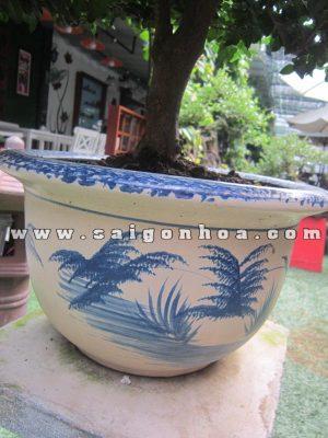 chau trong cay kim quyt bonsai cao 55 - 60 cm