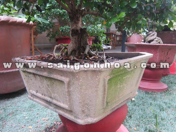 Chau Trong Cay Sam Nui Trai Bonsai Cao 60 Cm
