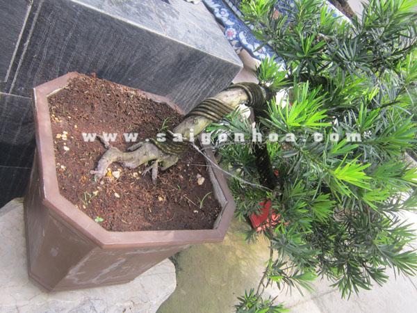 chau trong cay van nien tung bonsai dang bay