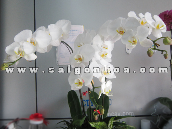 hoa lan ho diep trong tieu canh may man doi ban