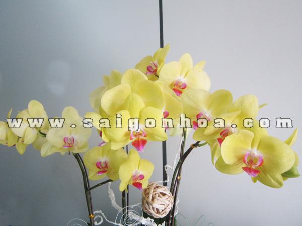 hoa lan ho diep vang trong tieu canh