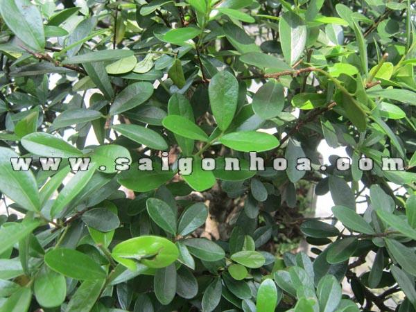 La Cay Linh Sam Bonsai Cao 75 - 80 Cm