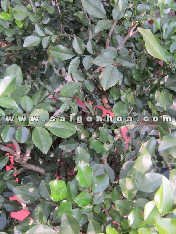 la cay nguyet que bonsai cao 70 cm