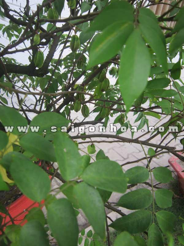 la va qua cay khe bonsai cao 1.1 - 1.2 m