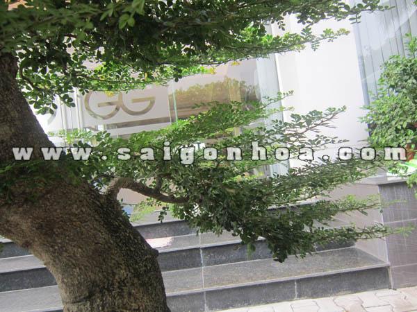 tan la cay can thang bonsai cao 1 m
